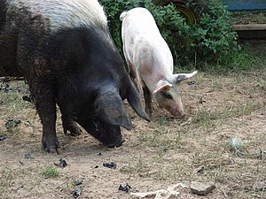 Pigs in Buttermere.