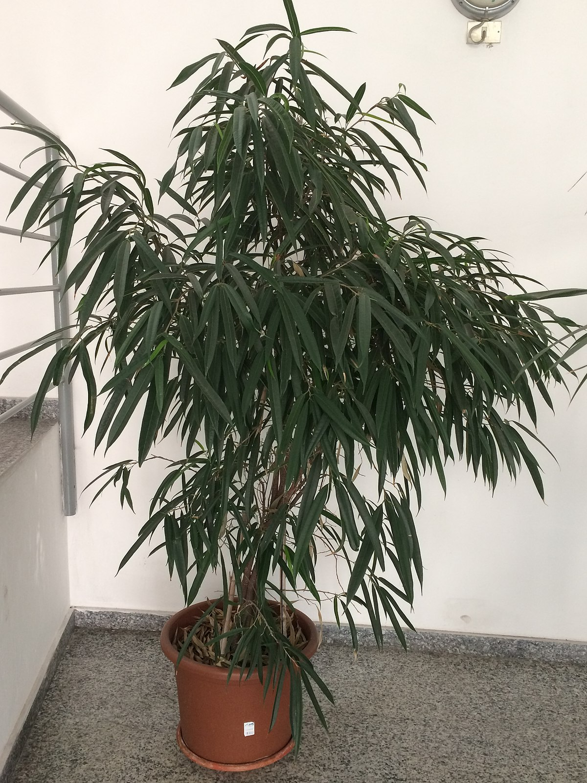 Ficus Maclellandii Wikipedia