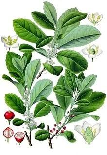 https://i2.wp.com/upload.wikimedia.org/wikipedia/commons/thumb/2/28/Ilex_paraguariensis_-_K%C3%B6hler%E2%80%93s_Medizinal-Pflanzen-074.jpg/220px-Ilex_paraguariensis_-_K%C3%B6hler%E2%80%93s_Medizinal-Pflanzen-074.jpg?w=736