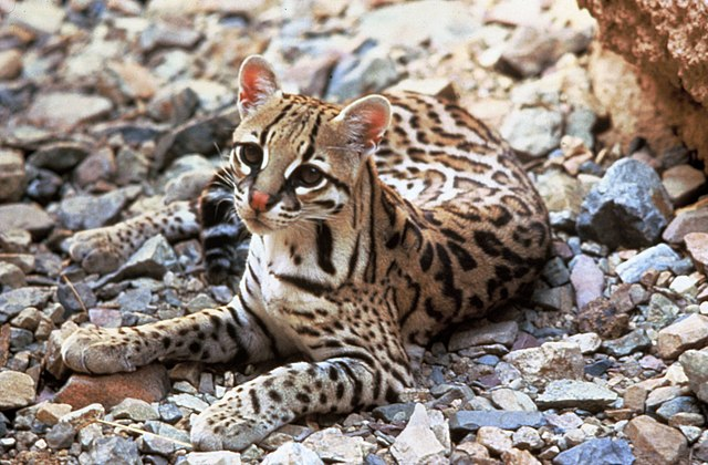 Ocelot, 2003 from US Fish & Wildlife Service, Image Archive