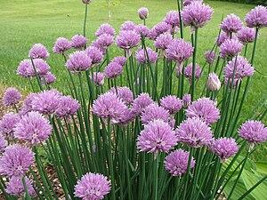 English: A clump of Allium schoenoprasum en , ...