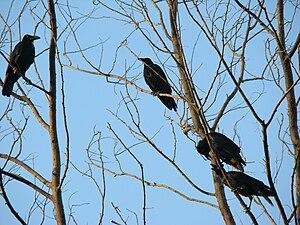 Eastern Jungle Crows, Bangladesh