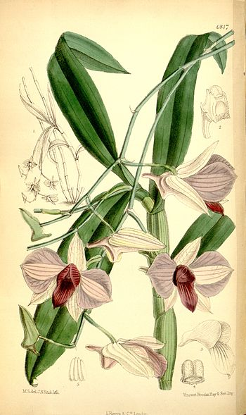 Illustration of Dendrobium bigibbum (as syn. D...