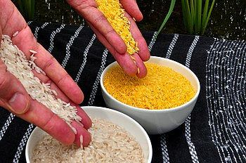 English: Golden Rice grain compared to white r...
