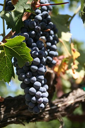 Grapes on a vine in Napa, California