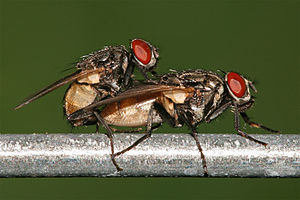 Houseflies Musca domestica mating. Picture tak...