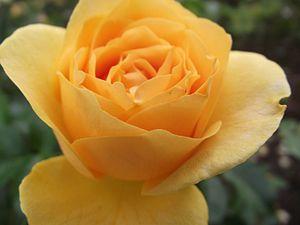English: Rosa 'Julia Child' at the Inez Grant ...