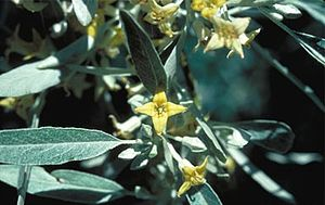 English: Russian Olive (Elaeagnus angustifolia)
