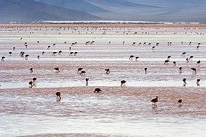 Andean Flamingos (Phoenicopterus andinus), Lag...