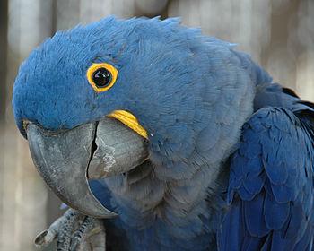 English: Hyacinth Macaw (Anodorhynchus hyacint...