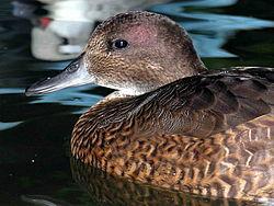 salah satu  spesies bebek