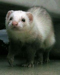A domestic ferret