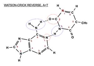 par de bases nitrogenadas A=T de tipo Watson-C...