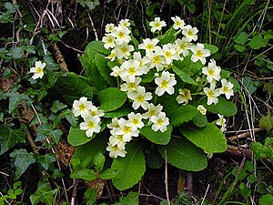 English: Primroses grown in the banks of the l...