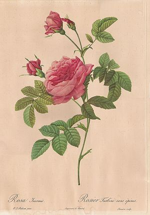 Thornless Rose painted by Pierre-Joseph Redout...