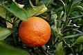 TangerineFruit.jpg