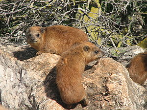 Two hyraxes, one showing its dorsal gland