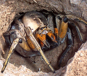 Burrowing wolf spider defending its egg sac.