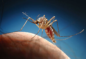 English: Mosquito on finger This image is part...