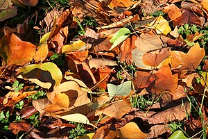 Liriodendron tulipifera 'Mediopictum' leaves (...