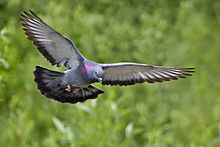 Rock dove - natures pics.jpg
