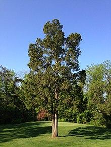 Bilderesultat for juniperus virginiana