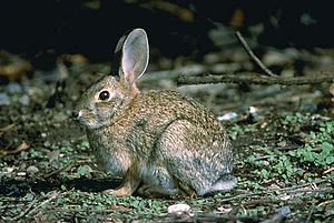 English: Brush Rabbit (Sylvilagus bachmani)