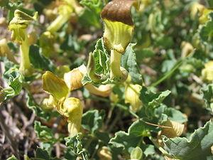 Aristolochia pistolochia flowers
