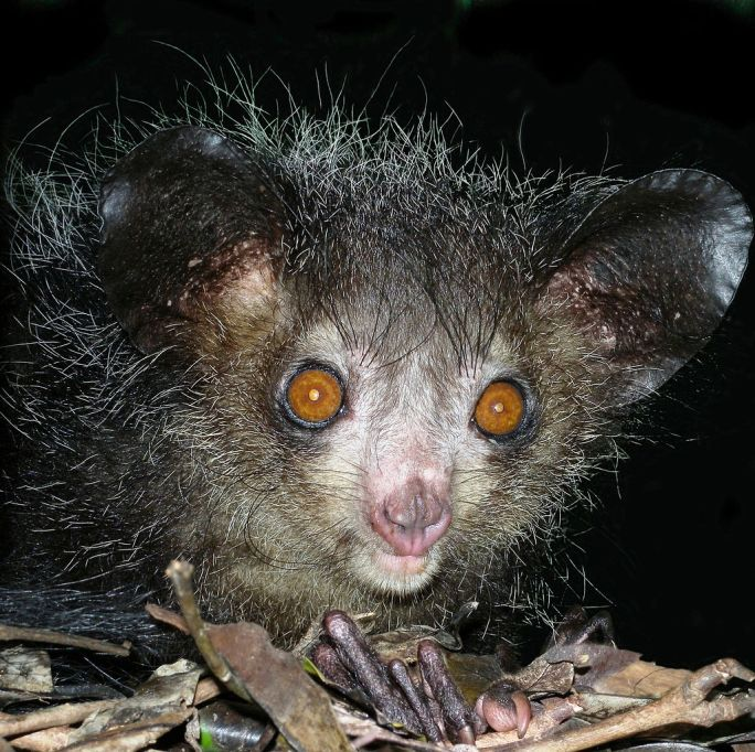 Aye-aye at night in the wild in Madagascar