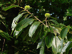 Sweet Chestnut Castanea sativa