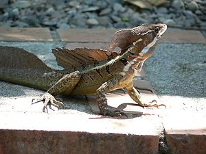 Common Basilisk (or Jesus [Christ] Lizard). Ph...
