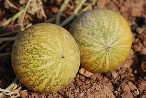 prickly paddy melon (Cucumis myriocarpus), Wil...