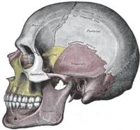 ¿Esto es un cráneo o un encefo?