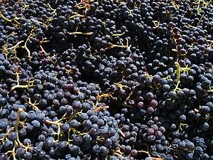 Grenache grapes from Santa Barbara California