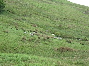 English: Hillside with grieving sheep