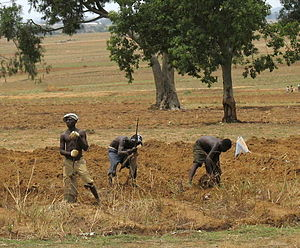 Nigerian farmers working in field in Middle Belt