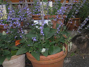 ;Scientific name: Salvia 'Blue Chiquita' Place...