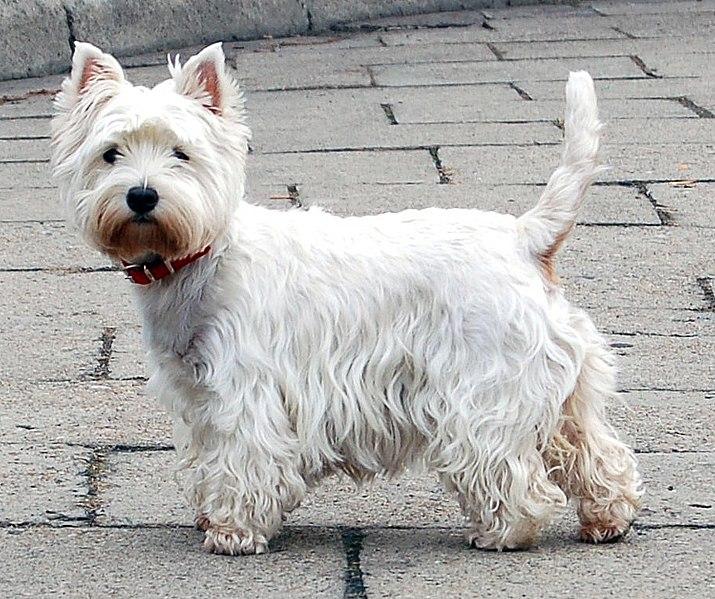 File:West Highland White Terrier Krakow.jpg