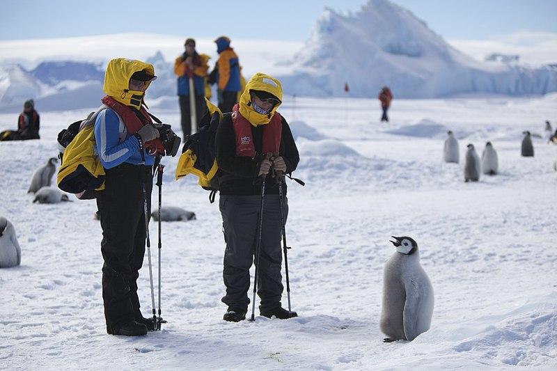 File:Aptenodytes forsteri -Snow Hill Island, Antarctica -juvenile with people-8.jpg