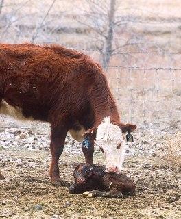 File:Cow and calf K9486-1.jpg