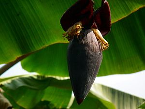 Banana is the common name for herbaceous plant...