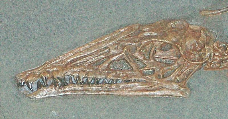 File:Campylognathoides sp AMNH 1713 cast skull.jpg