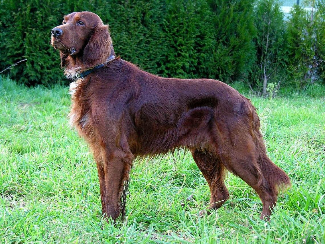 1200px Can Setter dog GFDL Winter Dog Coats For Pitbulls