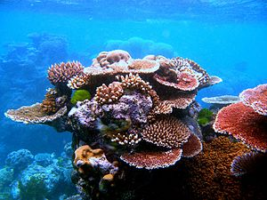 English: A variety of corals form an outcrop o...