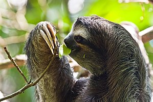 Three-toed-sloth, picture taken in the Cahuita...