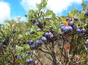 English: Vaccinium reticulatum (blue berries)....