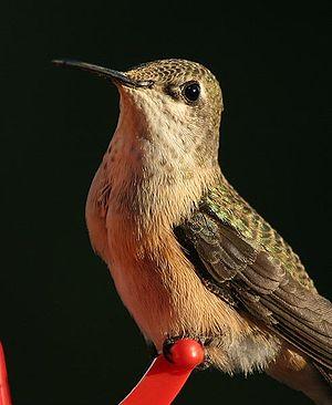A Calliope Hummingbird (Stellula calliope)