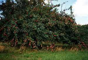 Deutsch: Apfelbaum