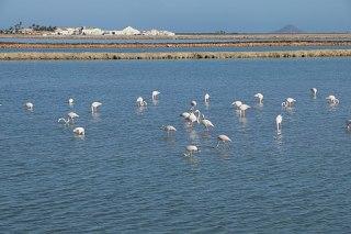 Flamingos at les de salinas by san pedro del pinatar by marmenor in southern spain 2016 b