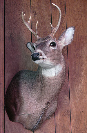 A white-tailed deer mount at Jessie's parents'...